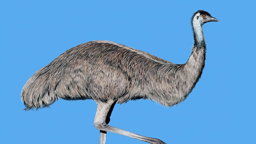 Wingspan is getting a new expansion, Wingspan: Oceania, which adds in tropical birds like the emu.